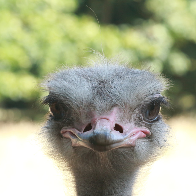 """""""Ostrich"""" stock image"""