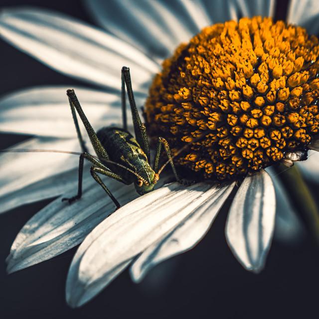 """Grasshopper and daisy."" stock image"