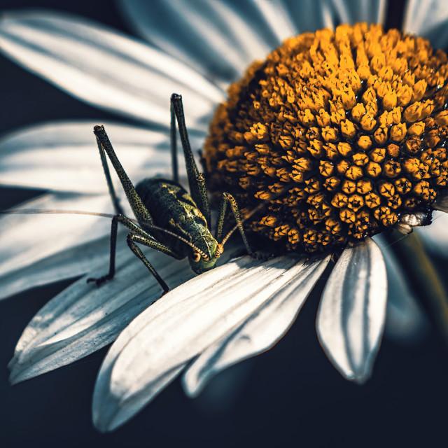 """Grasshopper and daisy, Cambridge UK."" stock image"