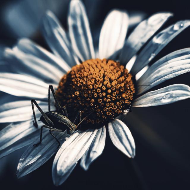 """Grasshopper resting on a daisy, Cambridge UK."" stock image"