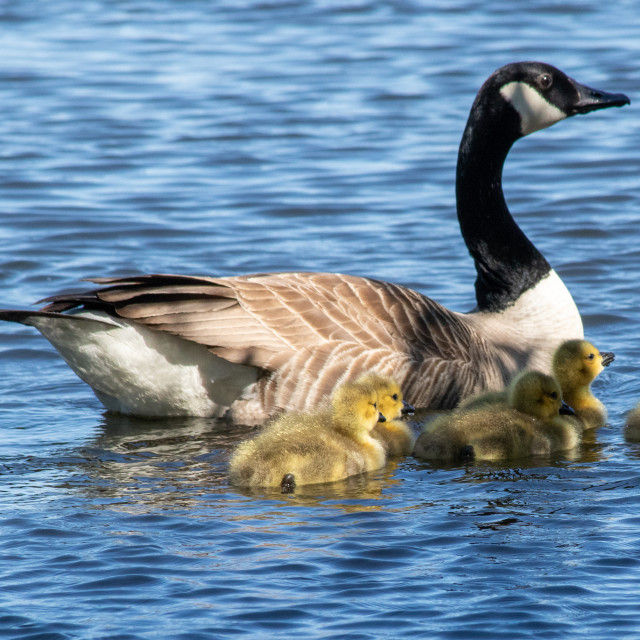 """""""Canada Goose and Goslings"""" stock image"""
