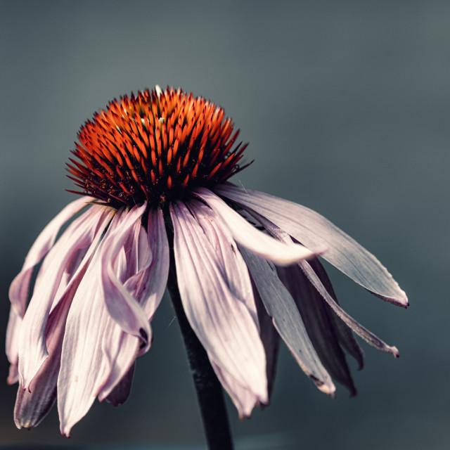 """Coneflower in bloom."" stock image"