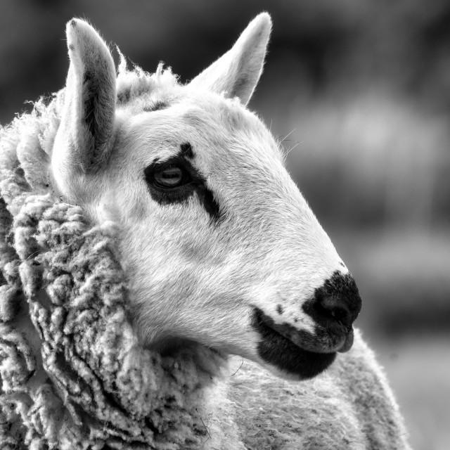 """Sheep in Black and White, Cambridge, UK."" stock image"