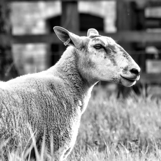 """Sheep in Black and White, Cambridge UK."" stock image"