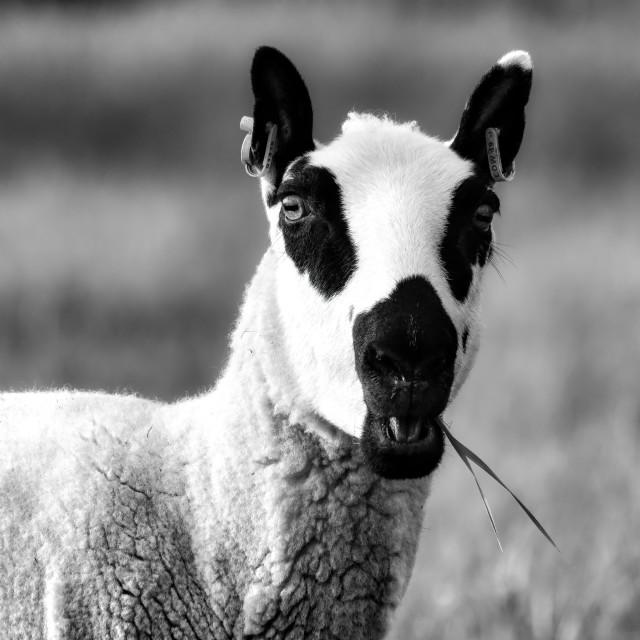 """Grazing Sheep in Black and White, Cambridge UK."" stock image"