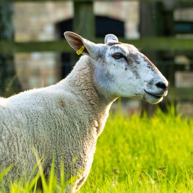 """Grazing Sheep, Cambridge UK."" stock image"