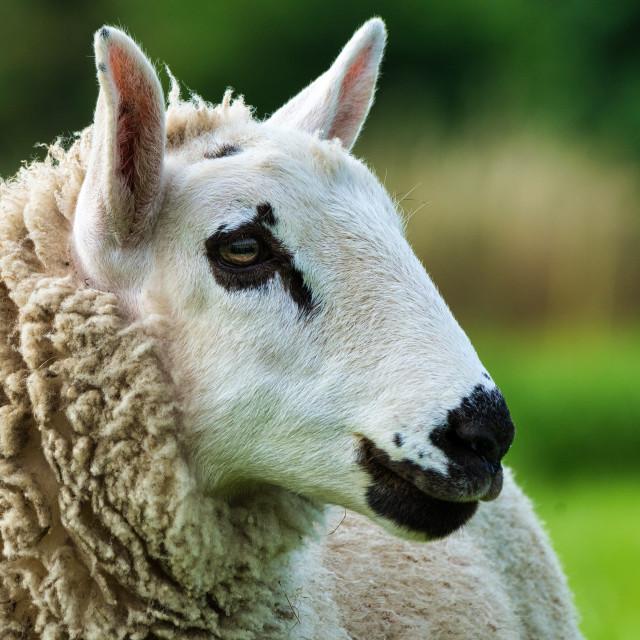 """Sheep from Cambridge UK."" stock image"