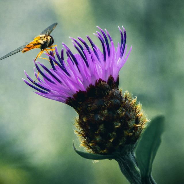 """""""Hoverfly collecting pollen, Cambridge UK."""" stock image"""