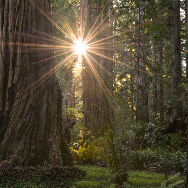 """Sunburst Through Redwood Trees in the Stout Grove"" stock image"