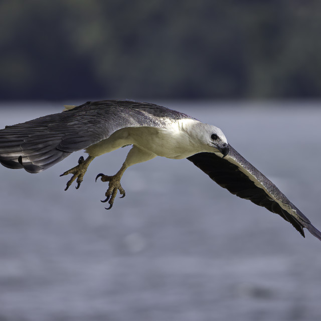 """""""White bellied sea eagle hunting"""" stock image"""