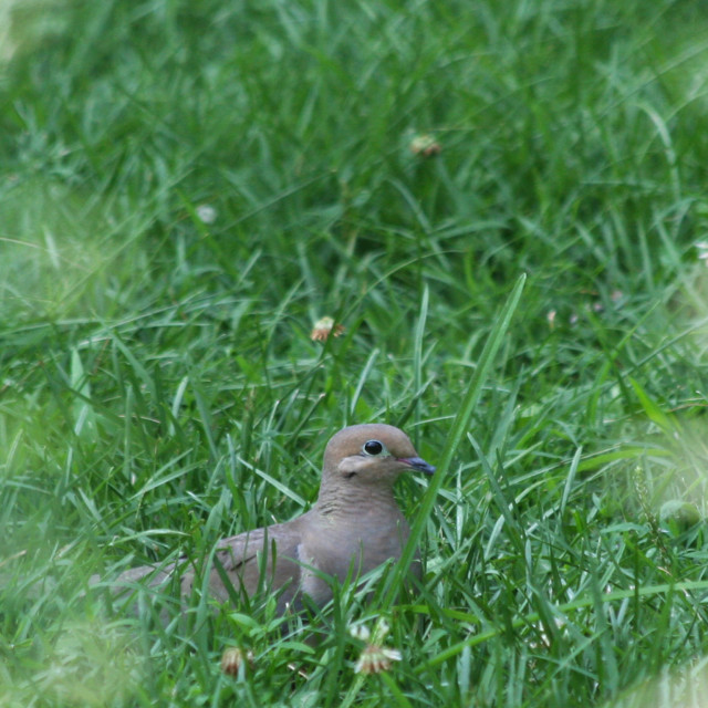 """""""dove in the grass"""" stock image"""