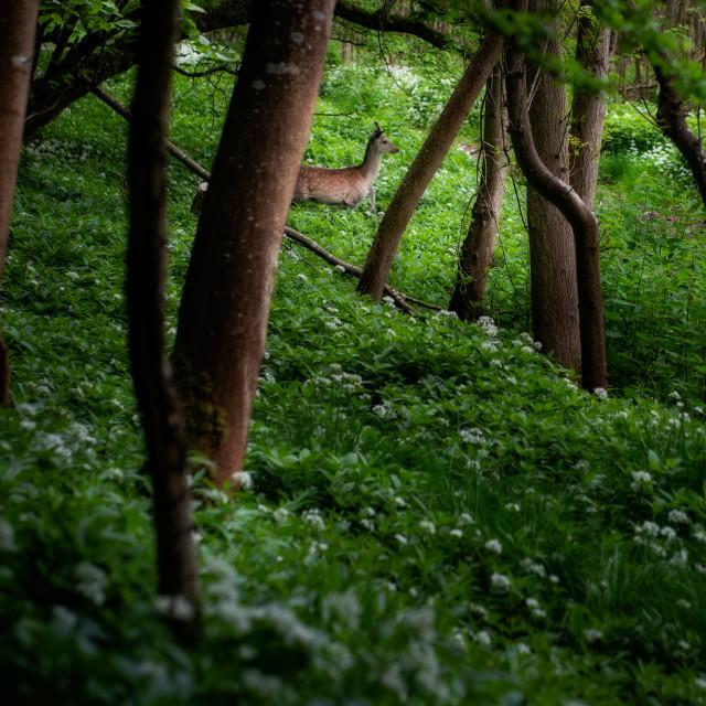 """""""Deer in Wild Garlic Forest, Dorset, UK"""" stock image"""