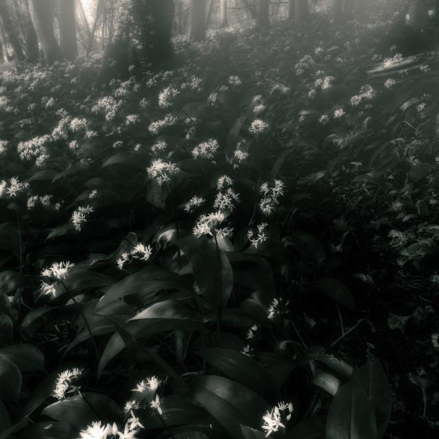 """""""Wild Garlic, Dorset, UK"""" stock image"""