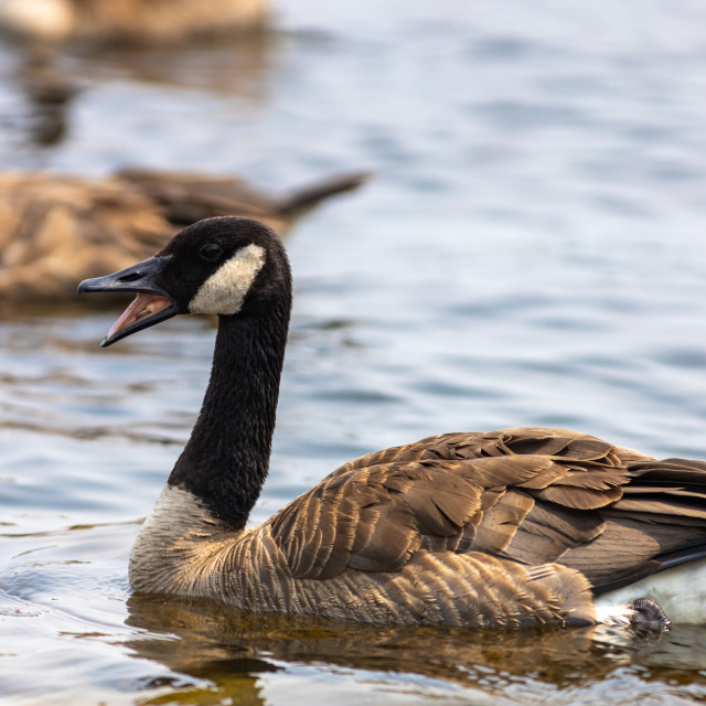 """""""Honking Canada goose in the water"""" stock image"""