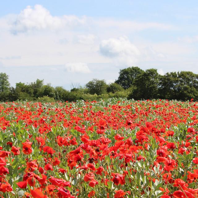 """Poppy field"" stock image"