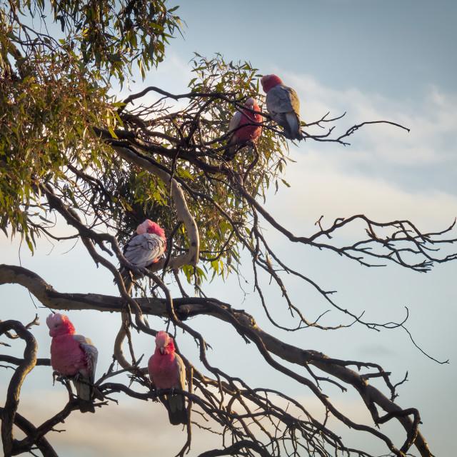 """""""Pink and Grey Galahs in a Wandoo Tree"""" stock image"""