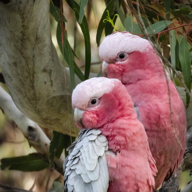 """Pink and Grey Galah Couple"" stock image"