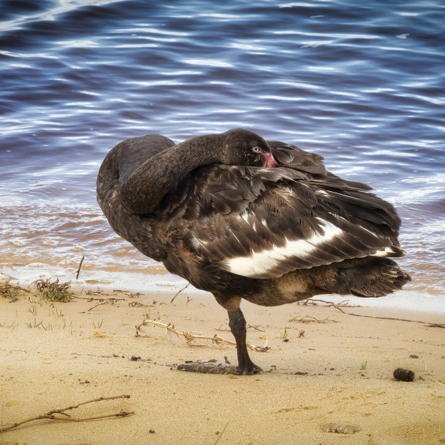 """Black Swan Roosting on One Leg"" stock image"