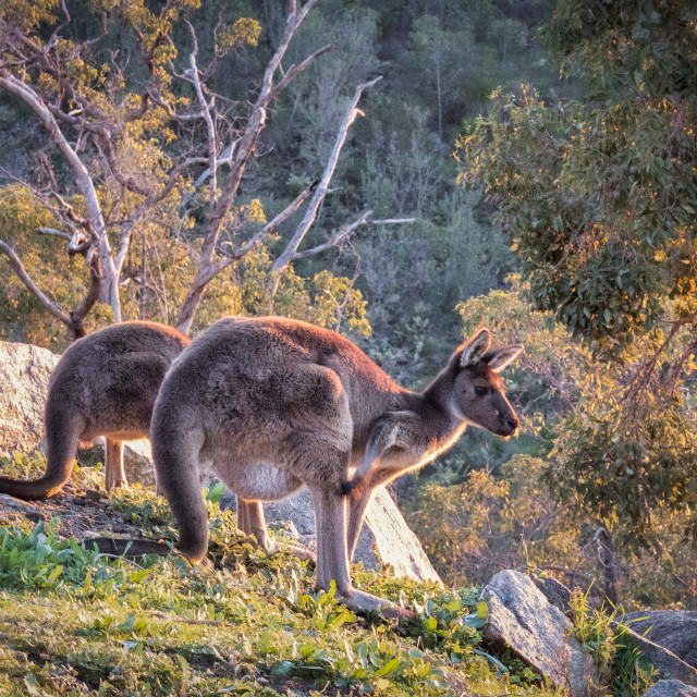 """Sunset Kangaroo"" stock image"