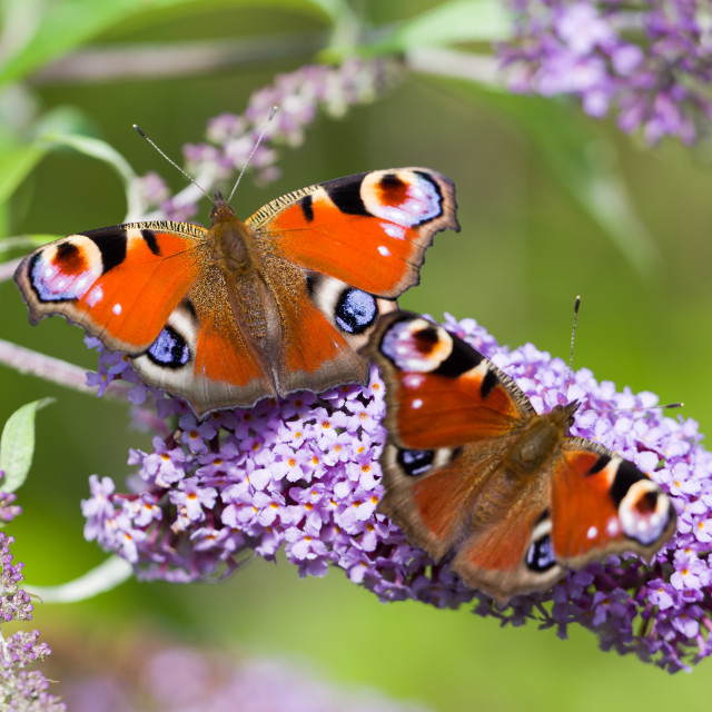 """Peacock Butterflies"" stock image"