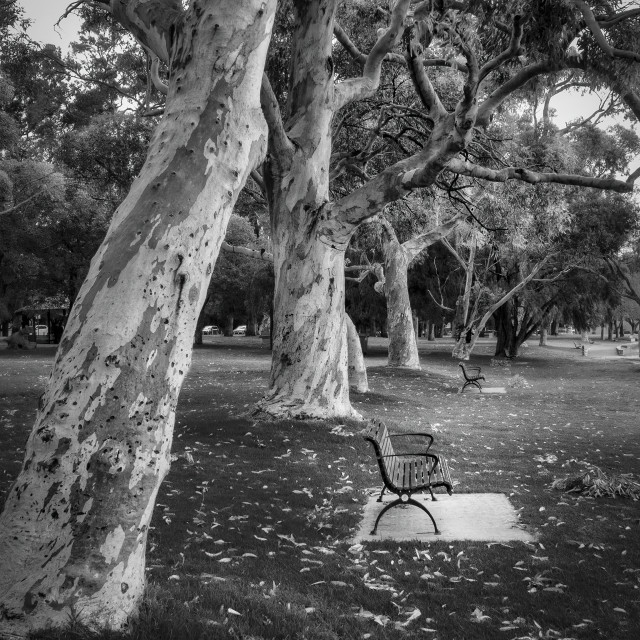 """Gum Trees on Matilda Bay"" stock image"