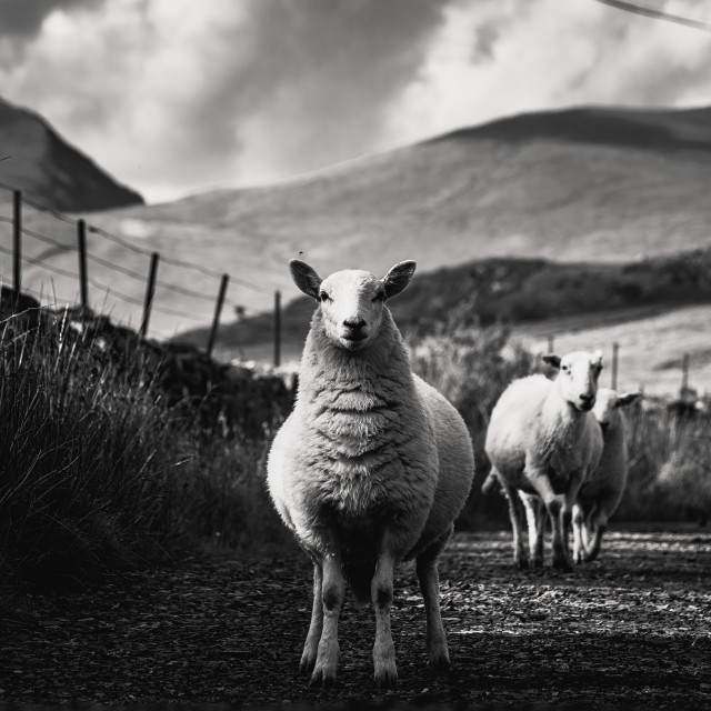 """""""Sheep from Snowdonia national Park, north-west Wales, UK"""" stock image"""