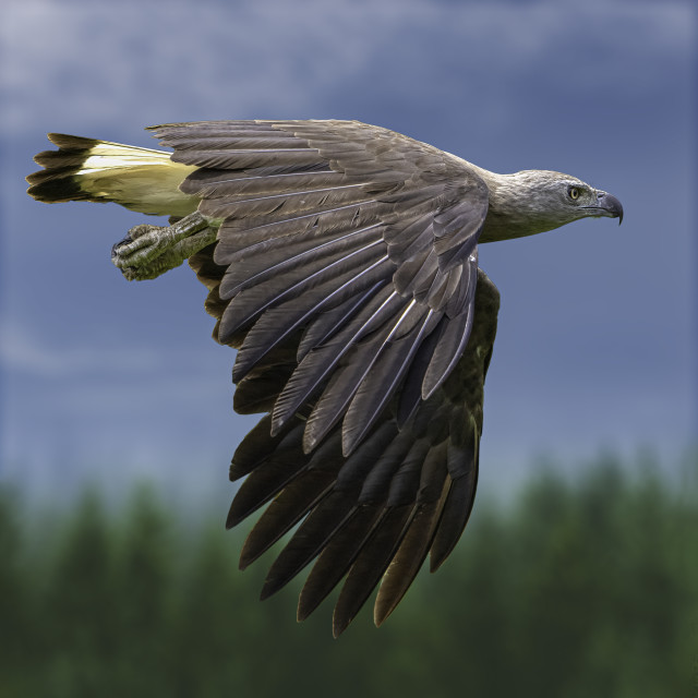 """Grey headed fish eagle"" stock image"