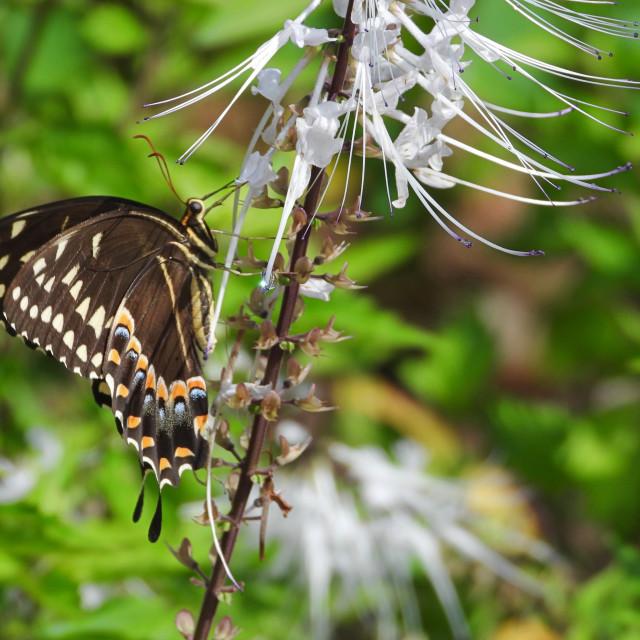 """Swallowtail Butterfly on Indian Kidney Tea Flower"" stock image"