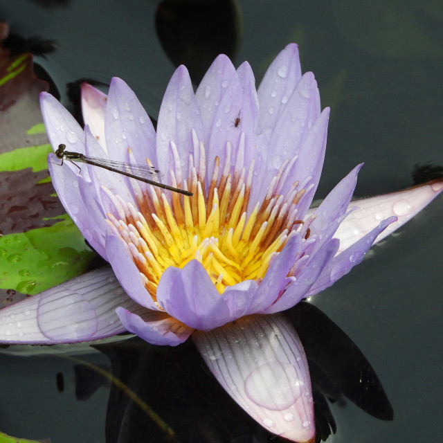 """""""Long-tailed Dragonfly on Purple Waterlily"""" stock image"""