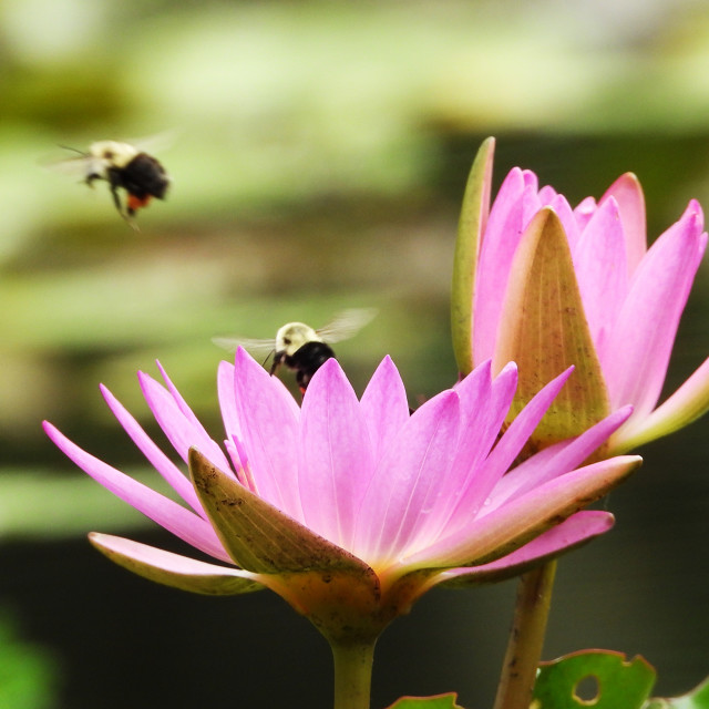 """""""Bees Departing Waterlilies"""" stock image"""