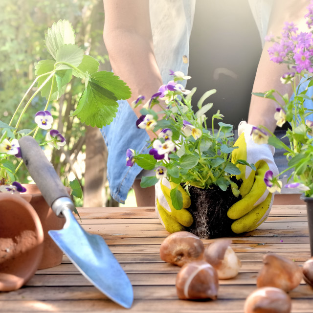"""""""panoramic view on a gardening table with gardener holding a viola flower pot background"""" stock image"""