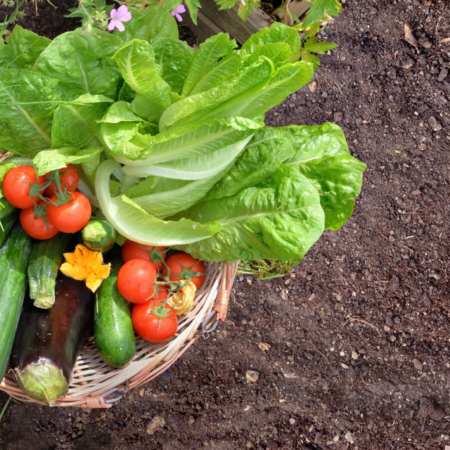 """""""basket filled with colorful fresh vegetables in the garden"""" stock image"""
