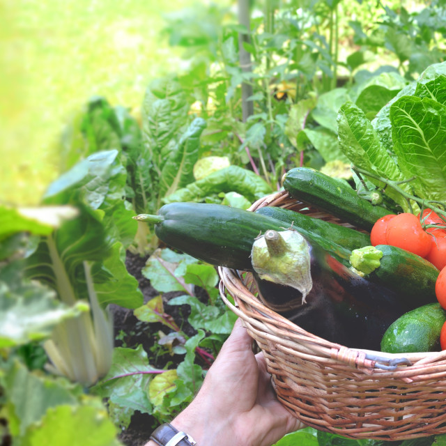 """""""man holding a basket filled with freshly picked vegetables"""" stock image"""