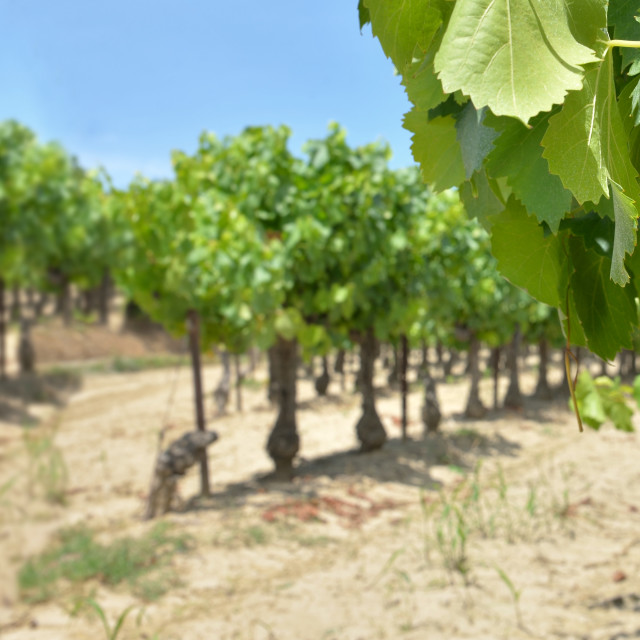 """""""panoramic view on grapes growing in vineyard in a field in summer"""" stock image"""