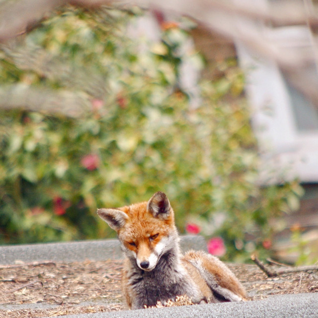 """""""Fox on a warm shed roof I"""" stock image"""