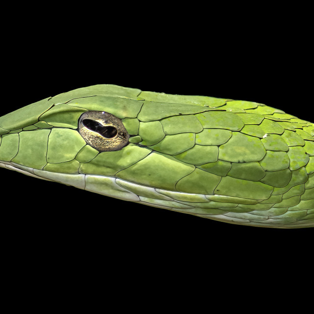 """""""Oriental whipped snake"""" stock image"""