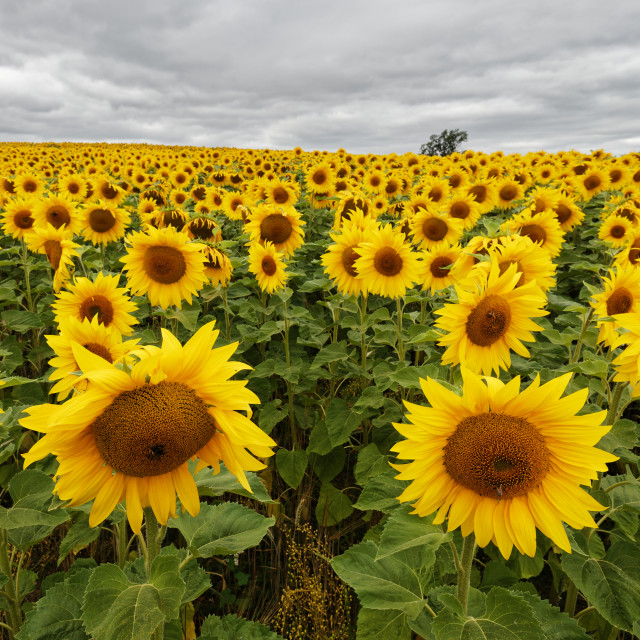 """""""Sunflowers on Grey Day"""" stock image"""