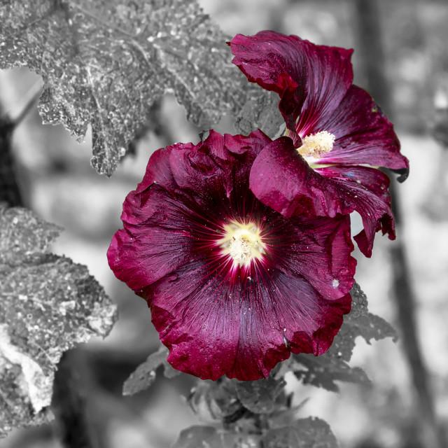 """Foxglove flower"" stock image"