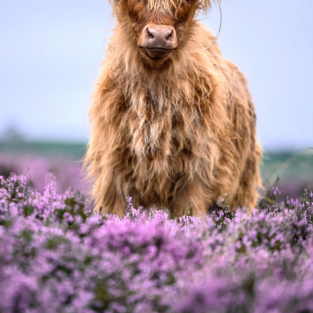 """""""Blue Hour Coo"""" stock image"""