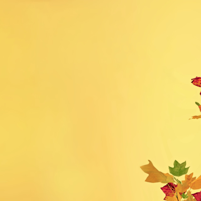 """""""foliage of a maple with golden autumnal colors on yellow"""" stock image"""