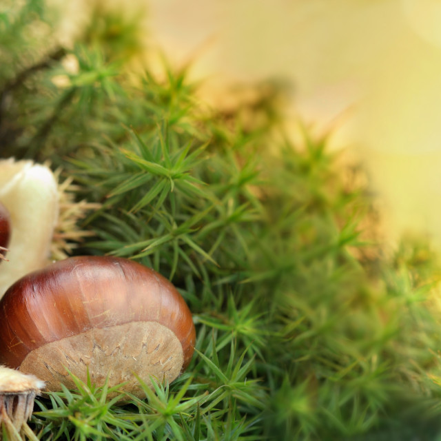 """""""fresh chestnuts in its husk in moss on sunlight background"""" stock image"""