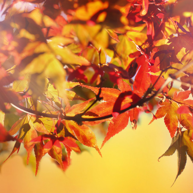"""""""red leaves of japanese maple in autumn"""" stock image"""