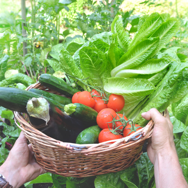 """fresh vegetables in a wicker basket held by a gardener"" stock image"