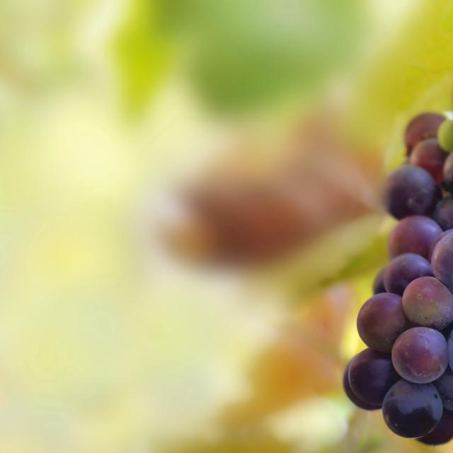"""grape growing in foliage in vineyard"" stock image"