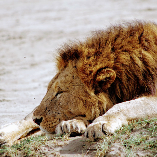 """Sleeping Lions"" stock image"