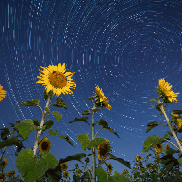 """""""Sunflowers lit by moonlight against startrail. Starry night moody picture."""" stock image"""
