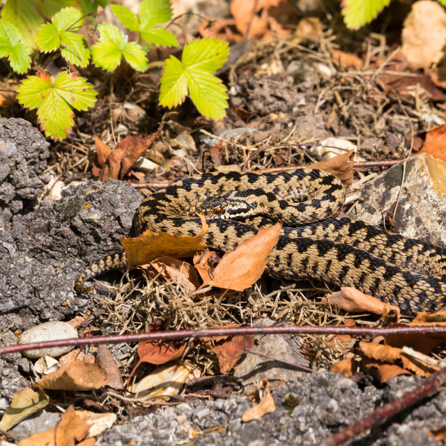 """Adder Male Snake"" stock image"