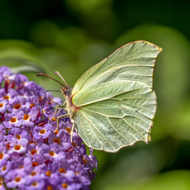 """""""Common Brimstone Butterfly."""" stock image"""