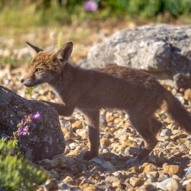 """Fox Cub."" stock image"