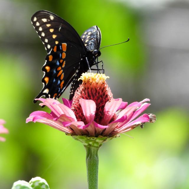 """Black Swallowtail on Pink Zinnia - 1 of 3"" stock image"